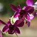 J77A6844 -- Two purple orchids