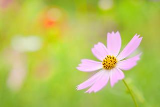 Pale pink-colored cosmos (1) @Yoyogi Park