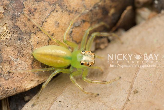 Yellow-Lined Epeus Spider (Epeus flavobilineatus) - DSC_6033