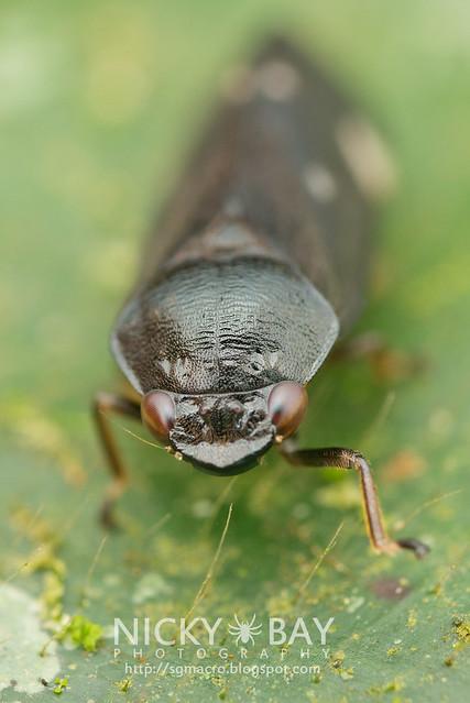 Froghopper (Cercopidae) - DSC_5849