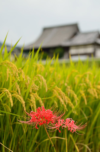 Autumn of Tachibana-dera Temple with Lycoris radiata.