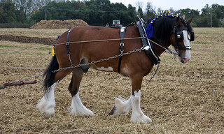 Shire Horse Using A Drag Harrow | by Martin Pettitt