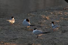 Forster's, Elegant, Common Terns