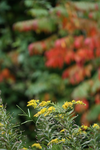 golden rod and sumac