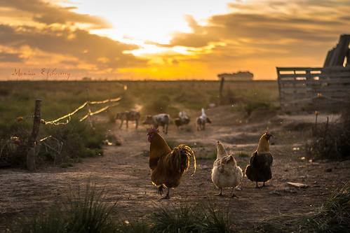 light sunset sun luz sol argentina field atardecer nikon day dia campo octubre 2012 granja gallinas avesdecorral d3100 monicaetcheverry