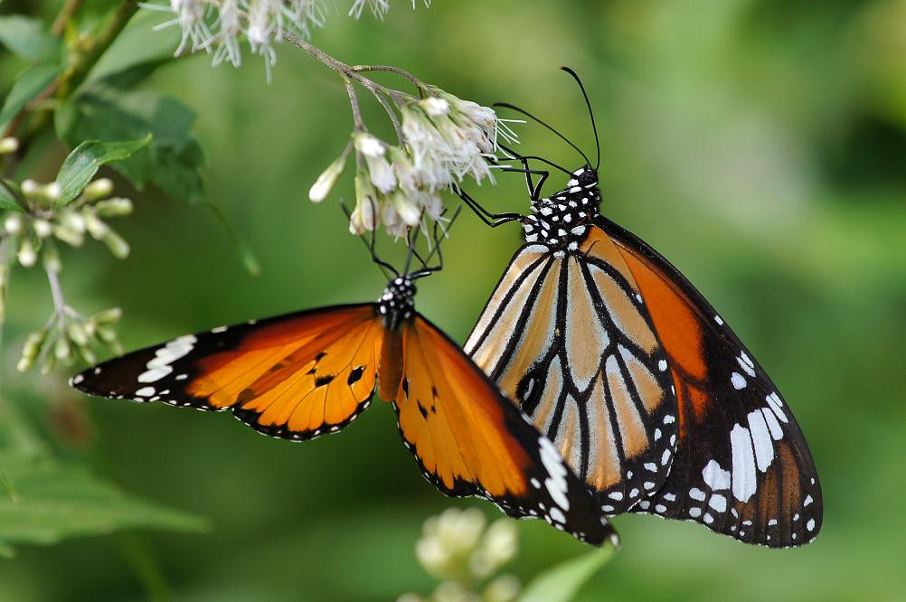 樺斑蝶、黑脈樺斑蝶-1