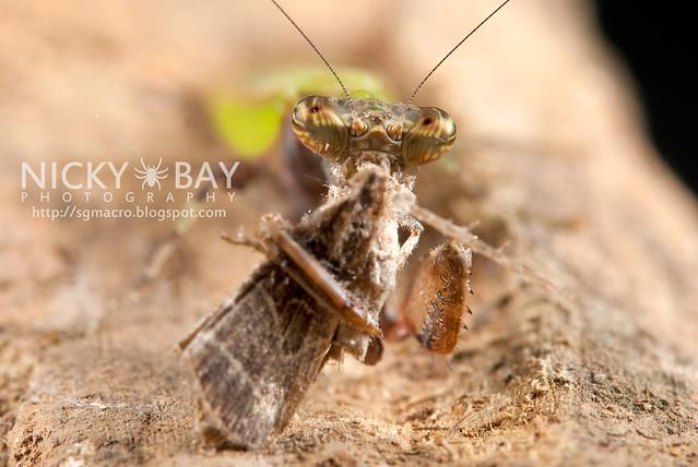 Praying Mantis (Acromantis sp.) - DSC_5623