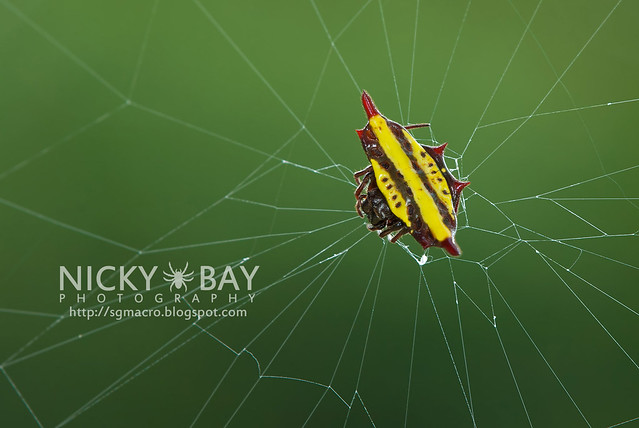 Spiny Back Orb Weaver Spider (Gasteracantha doriae) - DSC_4233