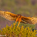 Northern Harrier - IMG_8398