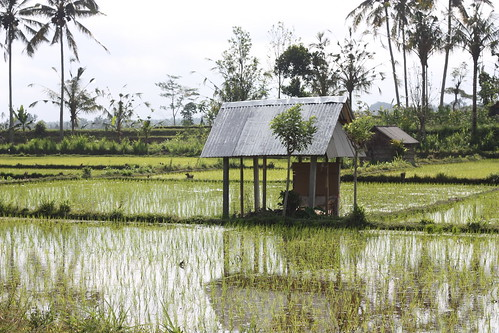 lost village and rice field