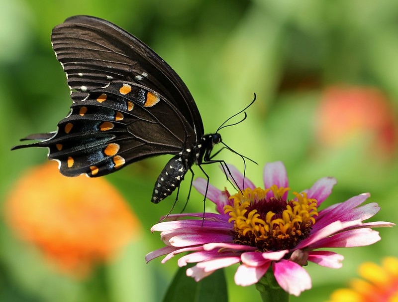 Spicebush SwallowtailZ
