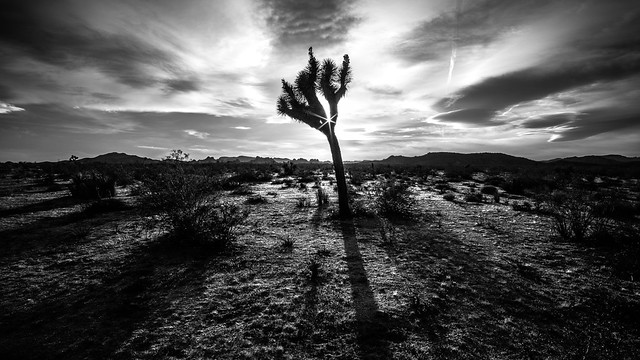 Joshua tree - Joshua tree national park, United States - Black and white photography