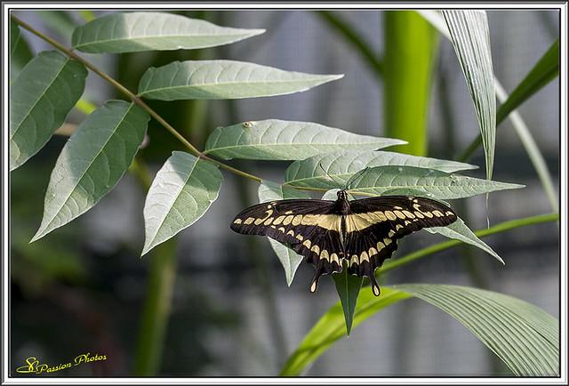 Papilio thoas (le voilier géant) 01