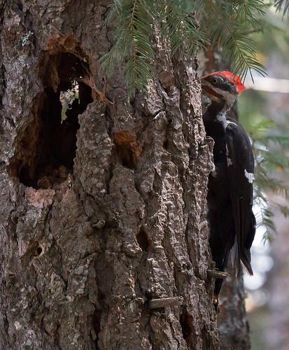 california sierranevada lakealmanor plumas woodpecker pileated forest bird trees dryocopuspileatus