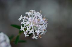 Slender riceflower
