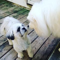 Face off. #decklife #dogstagram #shitzu #eskie #americaneskimodog