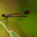 Little Dragon Fly