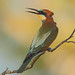 Abejaruco europeo - Merops apiaster - Abelharuco-comum - Guêpier d'Europe - Gruccione europeo - European Bee-eater - Bienenfresser -