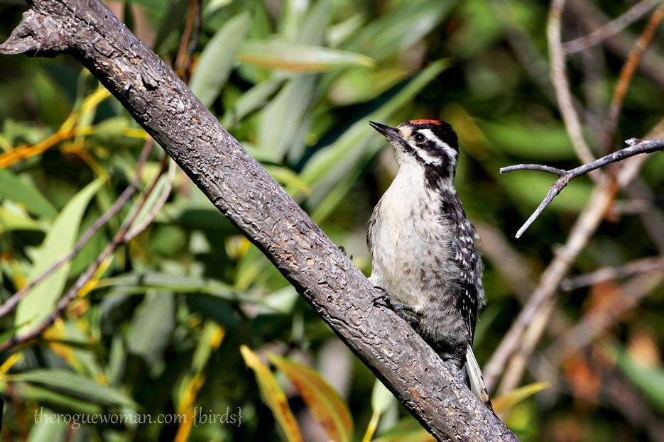 081412_01_bird_woodpecker02