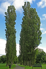 Avenue of Poplar Trees, Horton Park, Bradford