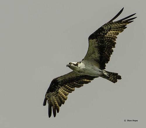 Lake Istokpoga - Osprey Flying
