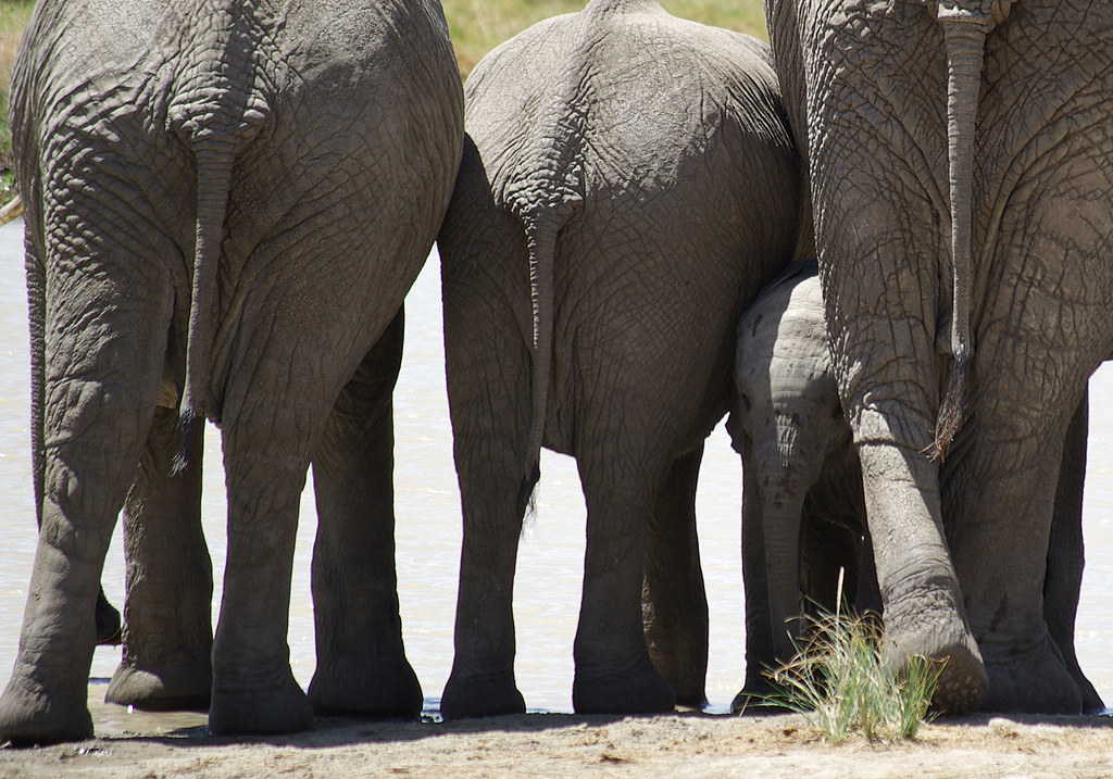 African Elephants with baby