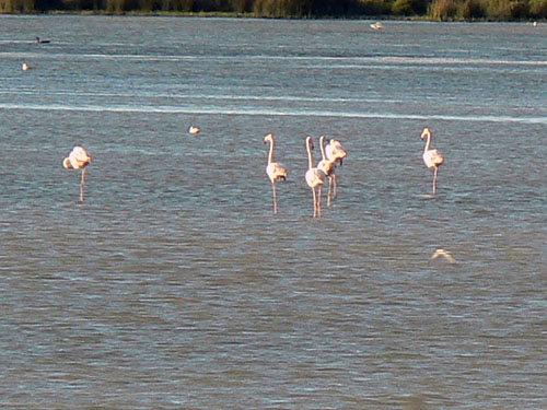 flamants roses.jpg