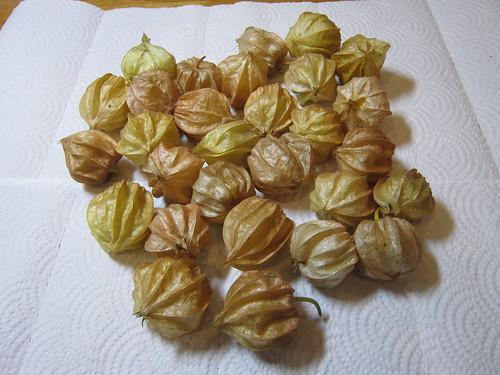 収穫した食用ほおずき 2012年9月11日 by Poran111