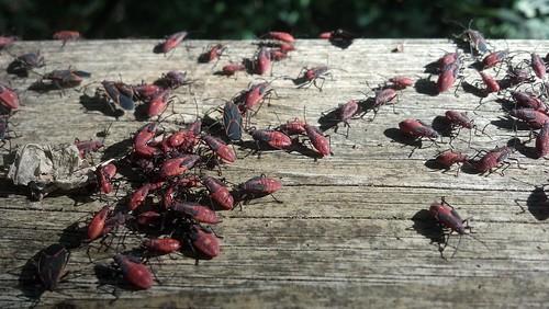 Nymph Boxelder Bugs