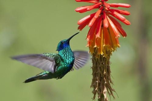 Explored-Colibri coruscans (Sparkling violet-ear/Colibrí grande verde)