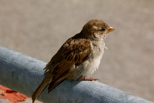 Piety, a little sparrow, raised by a very friendly family after falling out of his/her nest.