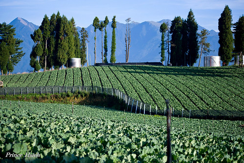 高山高麗菜 - High hill cabbage fields - Fushoushan farm