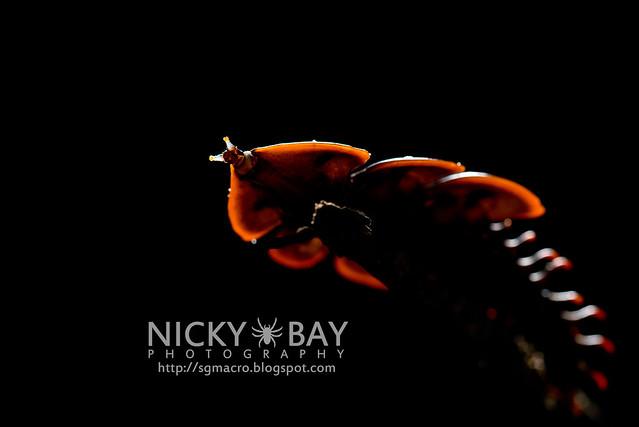 Trilobite Beetle (Platerodrilus ruficollis) - DSC_1823