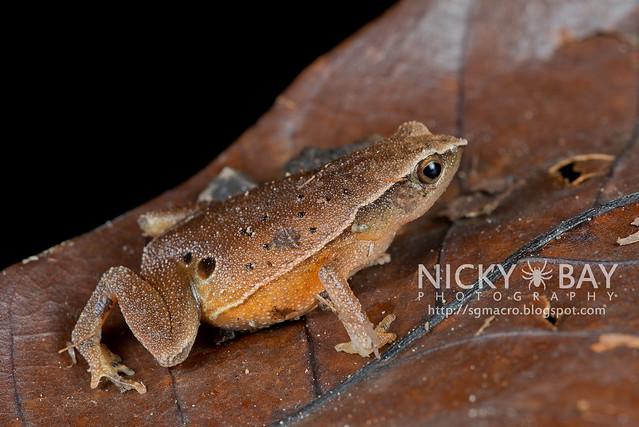 Black-spotted Sticky Frog (Kalophrynus pleurostigma) - DSC_1448