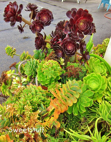 Aeoniums at beach house