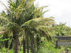 evergreen(0.0), borassus flabellifer(0.0), fruit(0.0), food(0.0), date palm(1.0), arecales(1.0), shrub(1.0), branch(1.0), tree(1.0), plant(1.0), produce(1.0), elaeis(1.0), plantation(1.0),