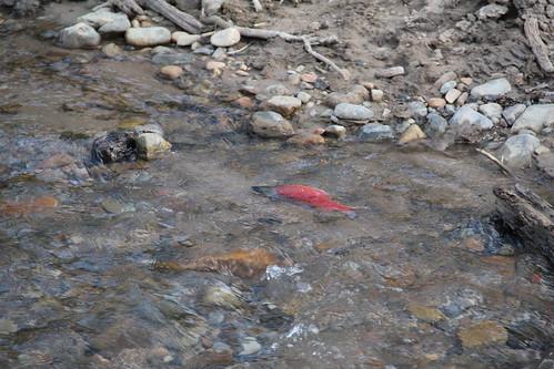 Kokanee Salmon working hard going upstream
