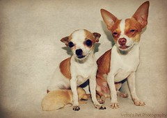 Family of Chihuahuas
