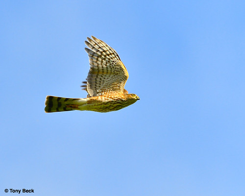 SharpShinnedHawk001