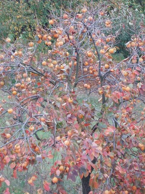 200510310047_persimmon-tree
