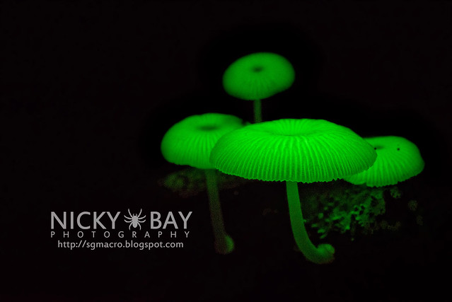 Bioluminescent Fungi (Mycena illuminans?) - DSC_7997