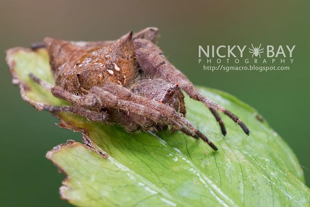 Common Garden Spider (Parawixia dehaani) - DSC_7570