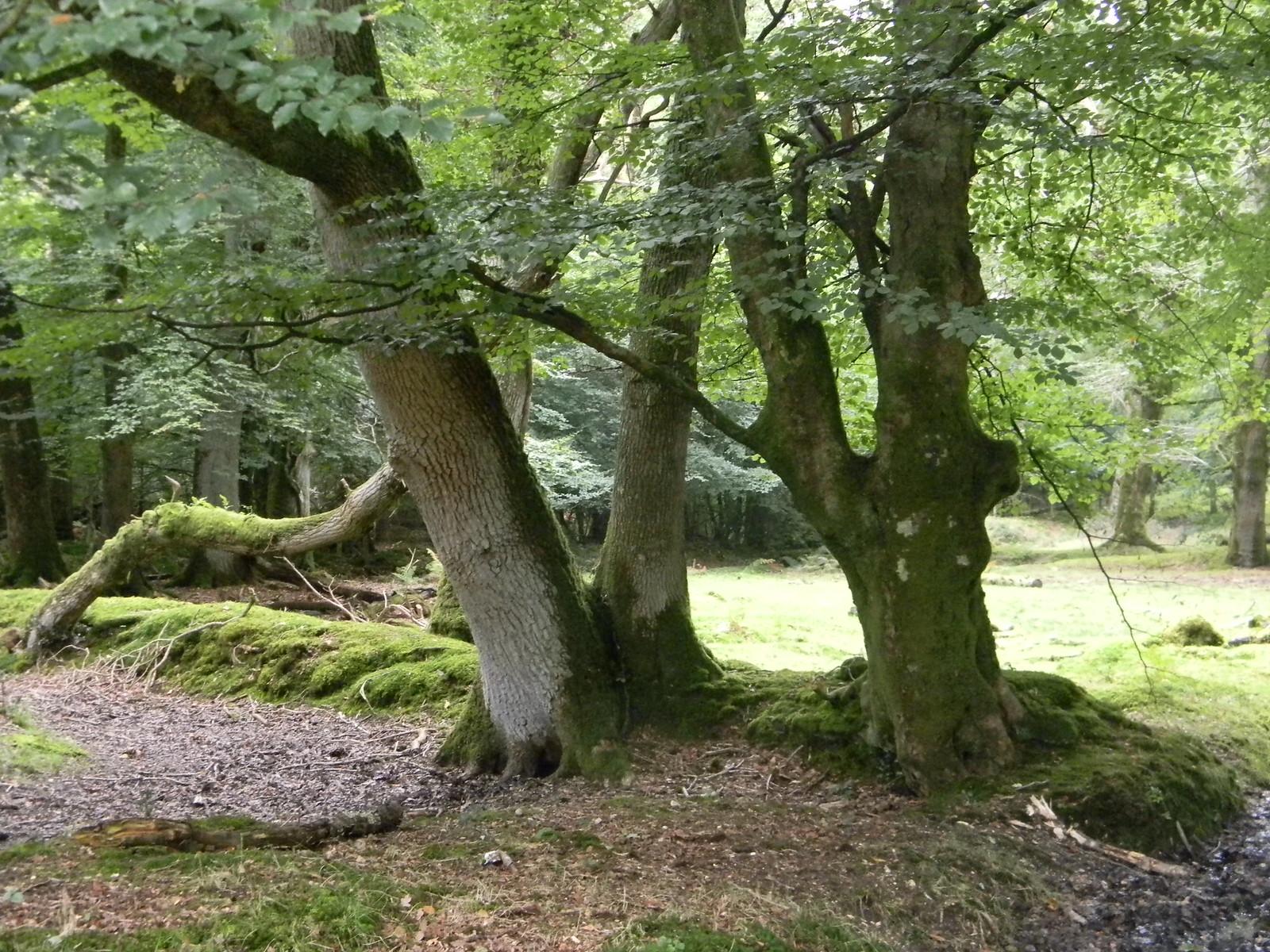 Trees Brockenhurst Circular