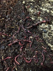 ringed-worm, soil, worm,