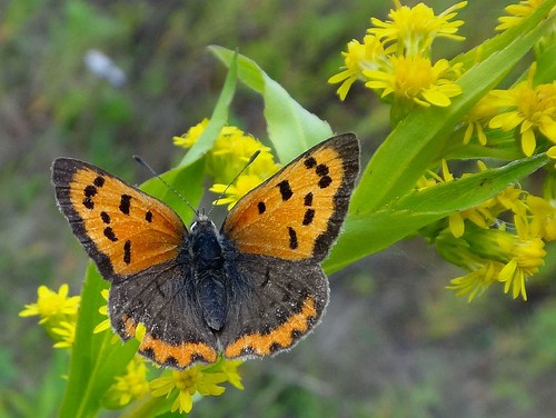 Wear and Tear in Autumn. Lycaena phlaeas, Common Copper, on Canada Goldenrod, Solidago canadensis, Tussen de Venen, Muntendam, Groningen, The Netherlands