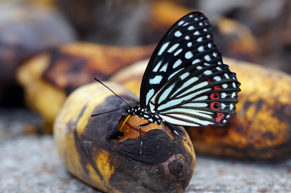 紅星斑蛺蝶-1