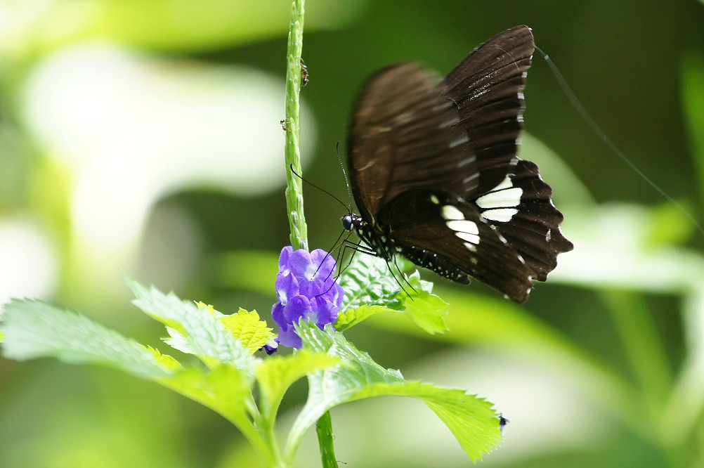 無尾白紋鳳蝶-1