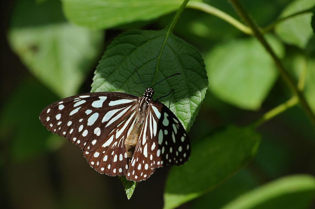 淡紋青斑蝶-2