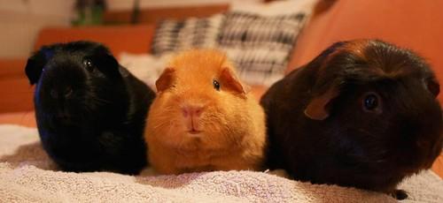 Pigies by Huckelbein