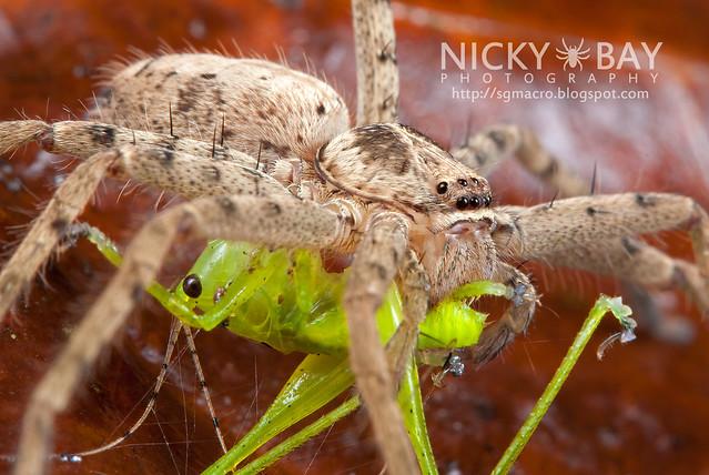 Huntsman Spider (Sparassidae) - i02699